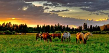 Horses Grazing in Fields